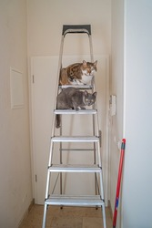 Two domestic playful cats sitting at the top of the high ladder the apartment corridor during painting walls and ceiling with white color paint