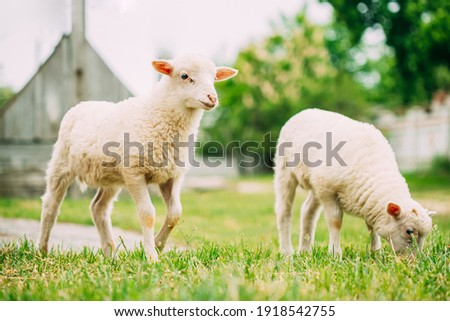 Two Domestic Small Sheeps Lambs Grazing Feeding In Pasture. Sheep Farming. Photo stock ©