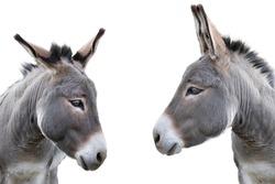 two donkey portrait isolated on white background
