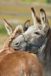 two donkeys one grooming the other resting head on others back in rural setting in barnyard domestic pet vertical format