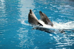 Two dophins dancing in water