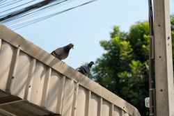 Two doves on the garage roof