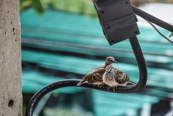 Two Doves perched on a wire in the Bangkok city. Baby dove relaxing on a electricity wire. Columbidae bird family. Zebra dove or peaceful dove (Geopelia Striata) a common bird in Thailand. Fluffy bird