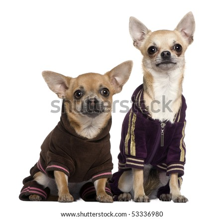 Two dressed Chihuahuas in track suits, 1 and a half and 1 years old, sitting in front of white background
