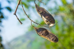 Two dry acacia pods with seeds inside