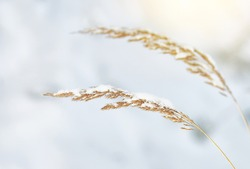 Two dry yellow blades of grass in winter under the snow. Agrostis exarata, Families of Cereals. Names spike bentgrass, pasific bengrass, spike redtop.