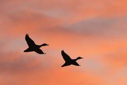 Two ducks flying against beautiful sunrise sky