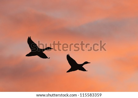 Two ducks flying against beautiful sunrise sky