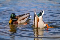 two ducks in a lake