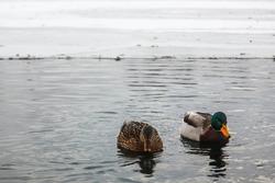 Two Ducks On Lake In Winter season