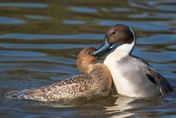 Two ducks sharing a loving moment at Reifel Bird Sanctuary in British Columbia, Canada