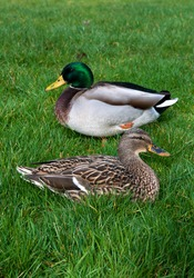 Two ducks sitting on the grass