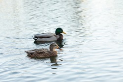 Two ducks swim in a pond. A pair of Anatinae dabbling ducks with beautiful plumage. A brown female and a drake bird with a blue-green head. Shallow depth of field.