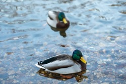 Two ducks swim in a pond. Anatinae dabbling ducks with beautiful plumage, male blue-green head drake birds. Selective focus