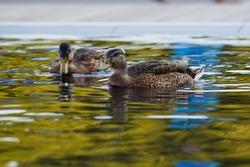 Two ducks swimming in the lake. Duck swimming. Duck in the colourful water. Green water. two ducks swimming in the pond. reflection on the water in the park. Waterfowl in water. two ducks friends