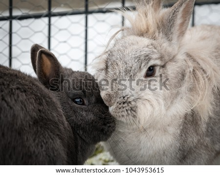 Two dwarf rabbits (a white and a grey one) cleaning each other