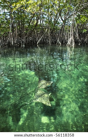 Two Eagle Rays swimming through a beautiful mangrove forest.