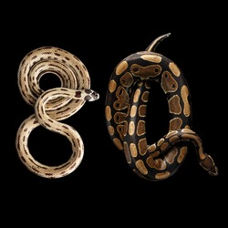 Two Eastern kingsnakes or common king snake and Ball or Royal python Lying number 80, isolated black background