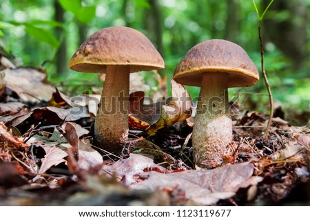 Two edible brown mushrooms (Leccinum scabrum) grow in the woods