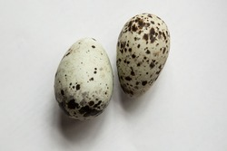 Two eggs of Pigeon guillemot on the white background.