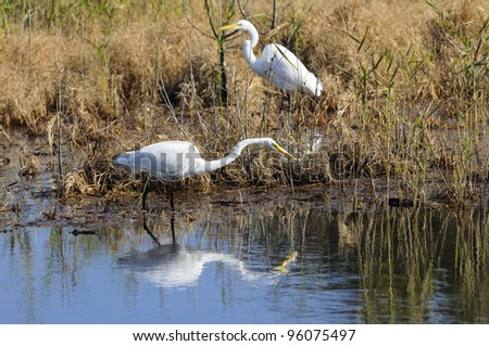 Two Egrets Hunting