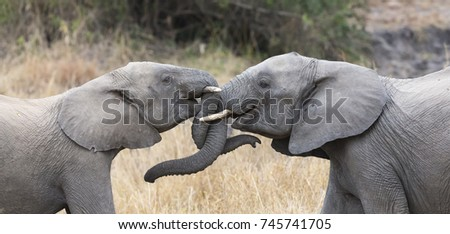 Two elephant greet affectionate with curling and touching trunks #745741705