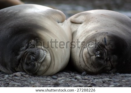 Two Elephant seals (Mirounga leonina) resting close together
