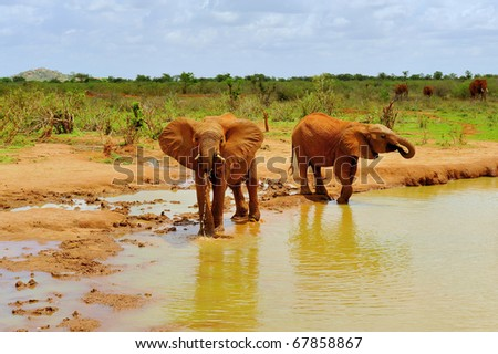 Two elephants are drinking fresh water