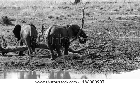 Two elephants in the wild near water and playing around a flattened tree trunk. Their skins are glistening in the sun as theu bask after a mud bath. A stomp and playful activity in black and white.