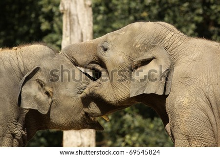 Two elephants playing