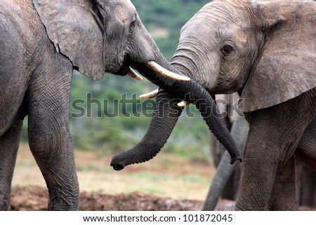 Two elephants trunk wresling and playing together in this photo from Addo National Elephant park,South Africa