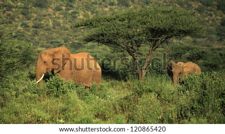 Two elephants walking through the grass in Kenya Africa