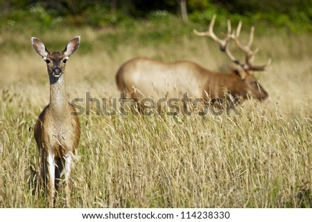 Two Elks - Northern California Redwood Forests Elks. Wildlife Photography Collection