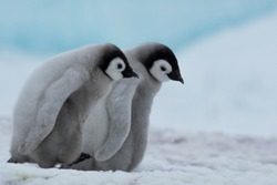 Two Emperor Penguin Chicks march together through the colony.  The ice blue in the background suggests the frigid temperatures of the species' livesl
