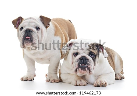 Two English Bulldog dogs over white background, one standing, other laying