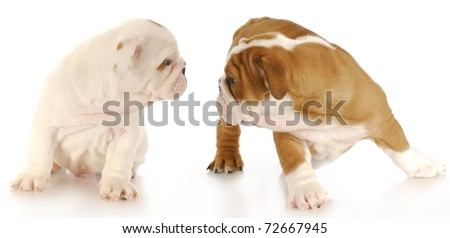 two english bulldog puppies interacting on white background