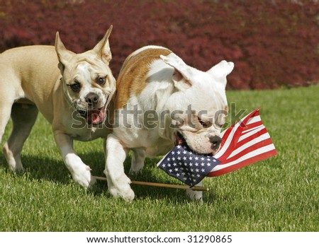 Two English Bulldog puppies play with an American flag on the 4th of July. - stock photo