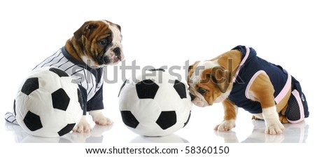 two english bulldog puppies playing soccer with reflection on white background