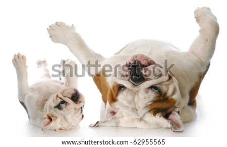 two english bulldog rolling on backs with reflection on white background