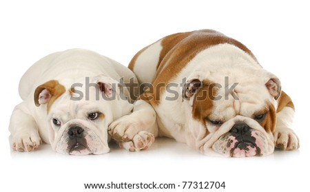 two english bulldogs laying down - one comforting the other