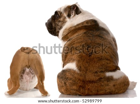 two english bulldogs sitting with back to viewer with reflection on white background