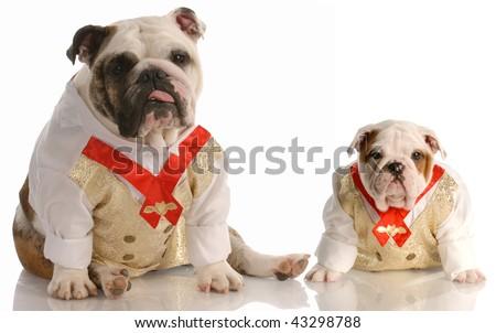 two english bulldogs wearing matching shirt and tie