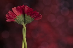 two entwined red gerbera flowers on abstract warm background