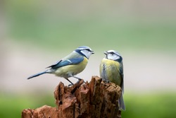 Two Eurasian Blue Tits (Cyanistes caeruleus) on a tree trunk in the forest of Noord Brabant in the Netherlands. Green background with copy space.