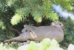 Two Eurasian collard dove nestlings (Streptopelia decaocto)