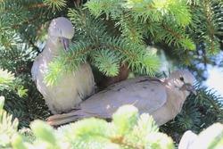 Two Eurasian collared dove nestlings (Streptopelia decaocto)