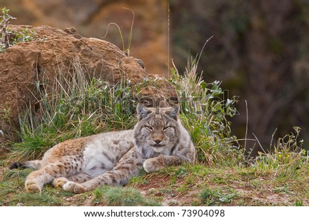 Two eurasian lynxes in a wild life park - stock photo