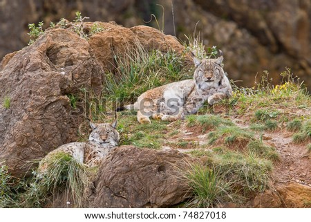 Two eurasian lynxes in a wild life park
