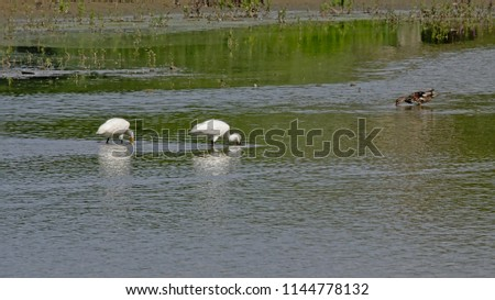 Two eurasian spoonbills in a pool in the marsh, foraging for food, selective focus - Platalea leucorodia #1144778132