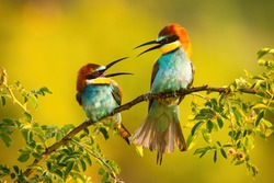 Two european bee-eater, merops apiaster, sitting on branch in summer. Two colorful birds fighting on twig with green leafs. Beautiful animals looking to each other on bough on sun.